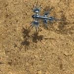 Niebezpieczne dla ludzi niebieskie smoki na  plażach