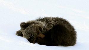 Niedźwiadek, który odwiedził szczyt Kasprowego Wierchu, uśpiony i przewieziony w bezpieczne miejsce