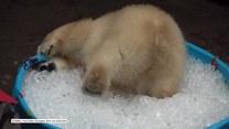 Niedźwiadek polarny w swoim żywiole