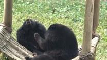 Niedźwiadki biją się o miejsce na hamaku