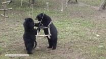 Niedźwiadki spędzają wesoło czas w nowym domu
