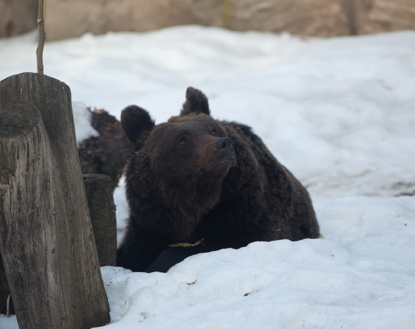Niedźwiedź brunatny; zdj. ilustracyjne /MACIEJ KULCZYNSKI / SE /East News