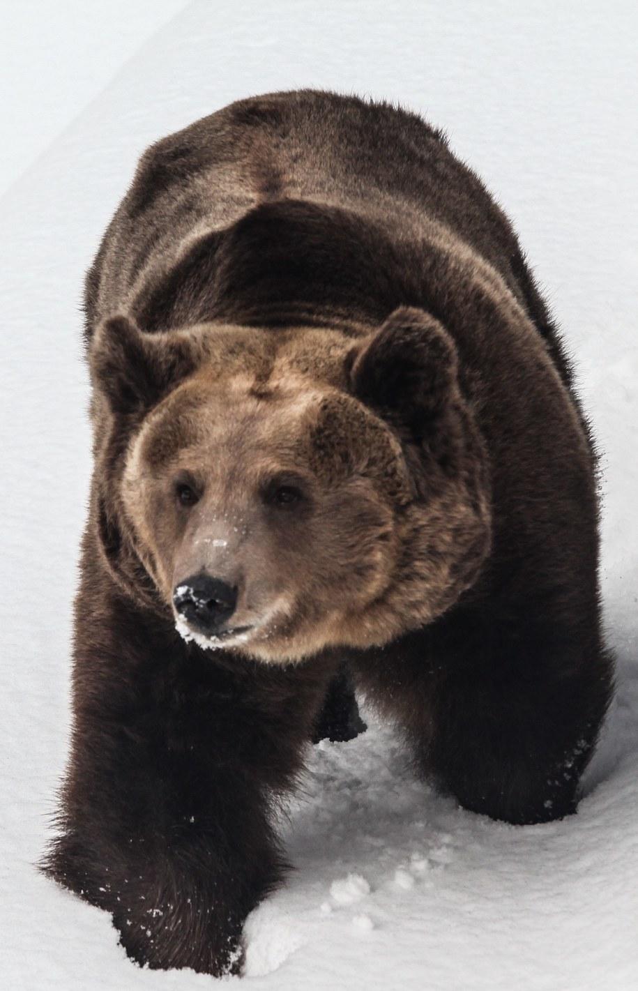 Niedźwiedź brunatny /PAP/Jakub Kamiński  /PAP