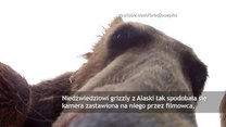 Niedźwiedź próbował zjeść kamerę filmowca-przyrodnika