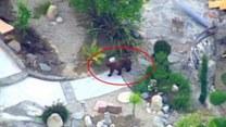 Niedźwiedź spacerował po osiedlu w centrum miasta!
