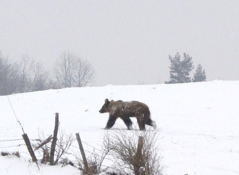 Niedźwiedź w Bieszczadach /Fot. Wojciech Zatwarnicki /Reporter