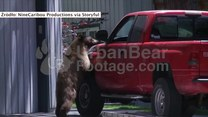 Niedźwiedź z szczególnym zamiłowaniem do motoryzacji