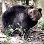 """Niedźwiedzica Gienia zbudowała w zoo gawrę. """"Sprawa absolutnie wyjątkowa"""""""