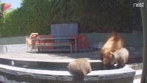 Niedźwiedzica z małymi skorzystali z fontanny w ogrodzie