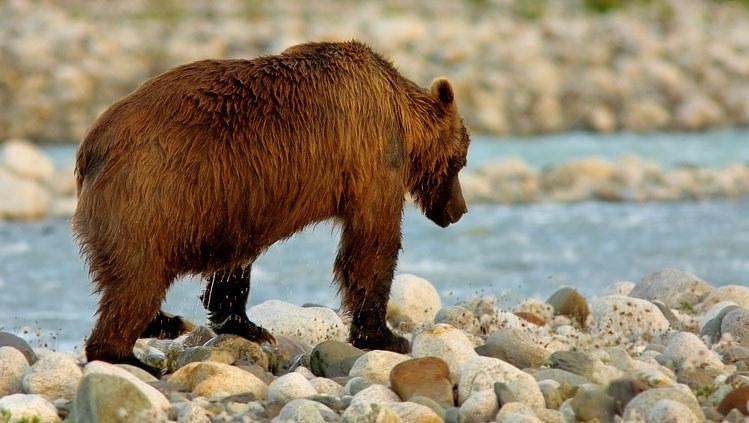 Niedźwiedzie atakują... /© Panthermedia