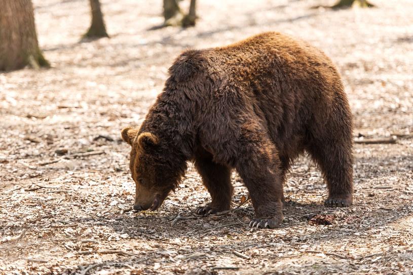 Niedźwiedzie zaliczają się do najbardziej niebezpiecznych drapieżników w Europie /123RF/PICSEL