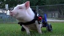 Niepełnosprawna świnka dostała nowy wózek inwalidzki