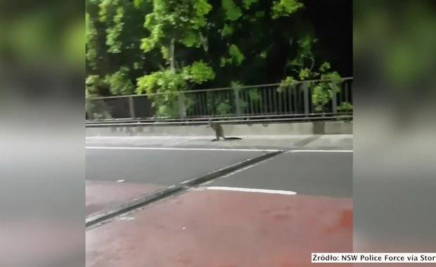 Nieproszony gość na moście w Sydney