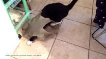 Nierówna walka kota z foliową torebką