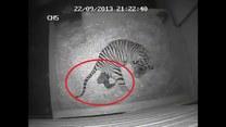 Niesamowite wideo! Na nagraniu widać narodziny tygryska!