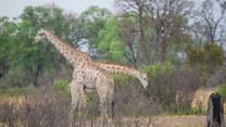 Niesamowity widok. Walka żyraf