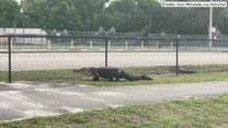 Niespodziewany gość przed szkołą. Aligator zabłądził w środku miasta