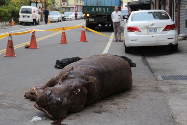 Nieszczęsny hipopotam po upadku z ciężarówki fot. Ashley Kuan /AFP