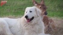 Niewiarygodna przyjaźń psa z jelonkiem