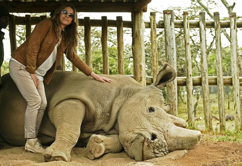 Nosorożec imieniem Sudan jest niezwykle zaawansowany wiekowo. /AFP