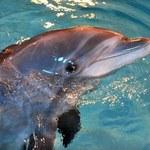 Nowy sposób by porozmawiać z delfinami