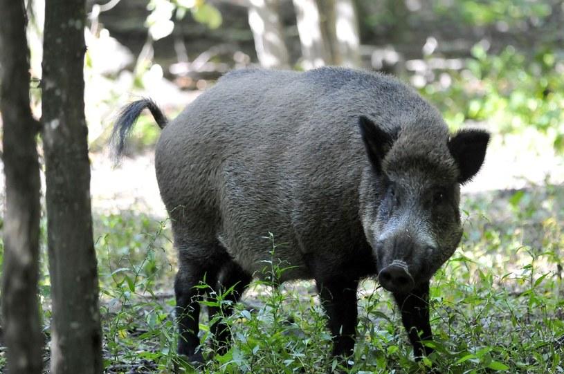 Obecność wirusa afrykańskiego pomoru świń stwierdzono u dzika /Piotr Kamionka /Reporter
