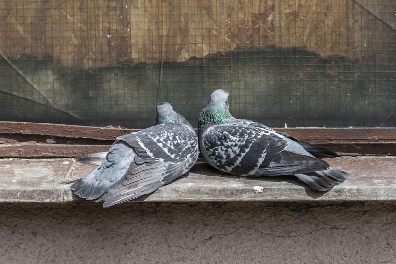 Obrzeżki przenoszą najczęściej gołębie /Dawid Tatarkiewicz /East News