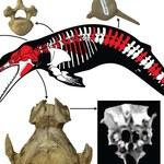 Odkryto nowy gatunek prehistorycznego delfina