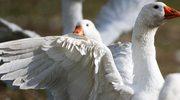 Ognisko ptasiej grypy w woj. lubuskim. Wojewoda wyznaczył obszar zagrożony