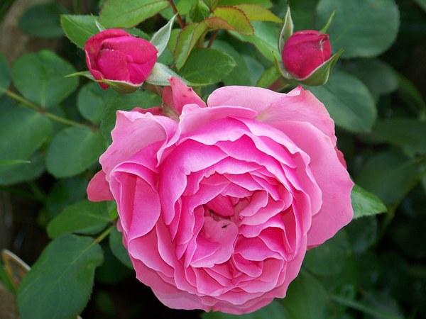 róża Leonardo