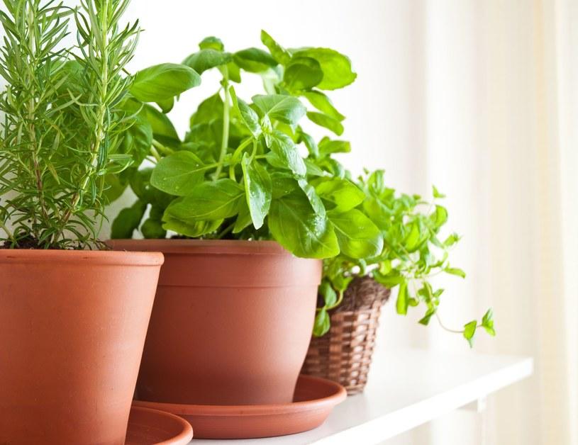 Olejki eteryczne zawarte w pelargonii, geranium, wrotyczy pospolitej, kocimiętce, tataraku oraz ziołach nie pozwolą zadomowić się owadom w domu, ogródku czy na balkonie /©123RF/PICSEL
