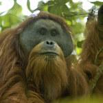 Orangutany Tapanuli zagrożone wyginięciem