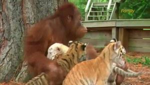 Orantugan opiekuje się młodymi tygrysami