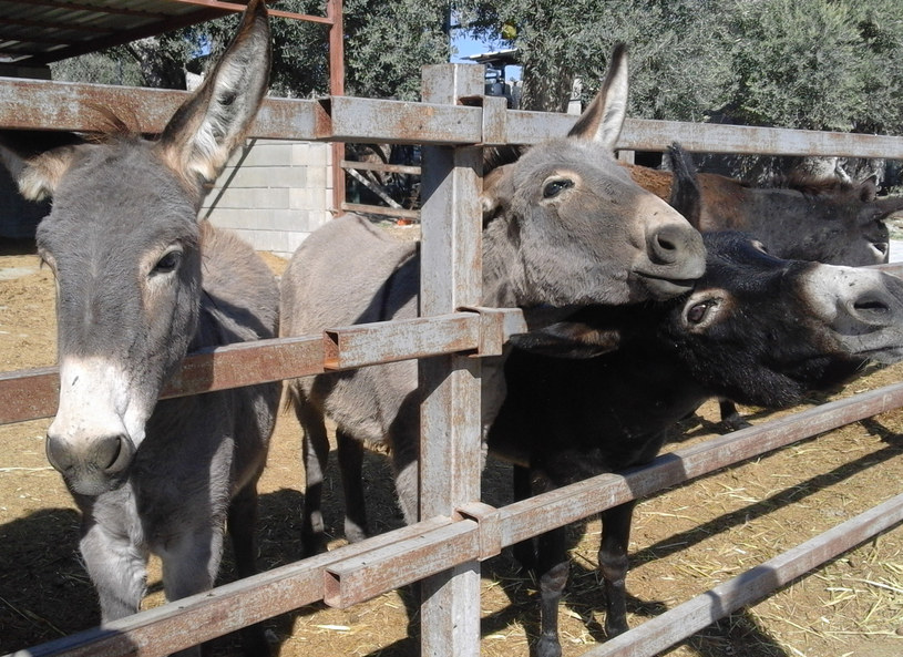Osiołki z Golden Donkey Farm /A.Sulawa /INTERIA.PL