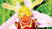 Osobliwe praktyki seksualne orchidei