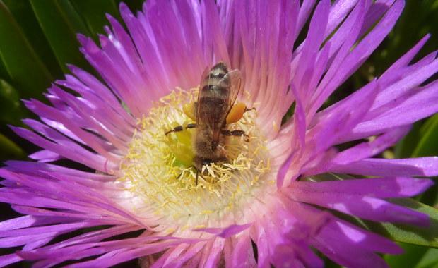 Oto pszczoła rekordzistka