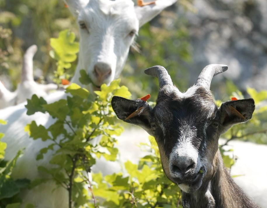 Owce i kozy będą kosić trawę w parkach w Rzymie. Zdj. ilustracyjne / Andrzej Grygiel /PAP