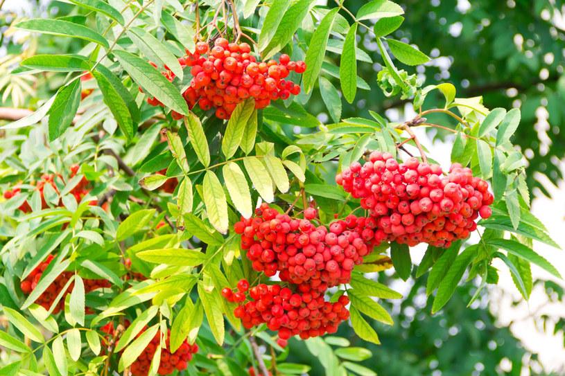 Owoców jarzębiny nie wolno jeść na surowo, ponieważ zawiera trujący kwas parasorbinowy /123RF/PICSEL
