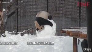 Panda bawi się z bałwanem