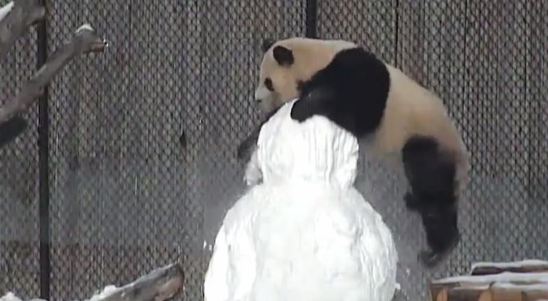 Panda była bardzo zainteresowana śnieżnym kolegą /Toronto Zoo /YouTube