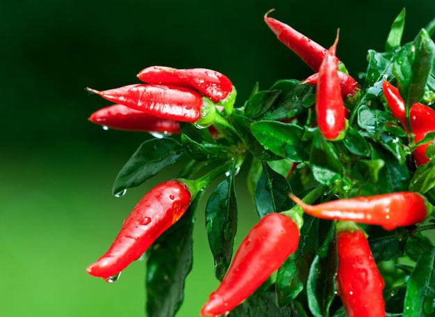 Papryczki chili /123RF/PICSEL