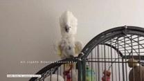 Papuga Harley próbuje zwrócić na siebie uwagę