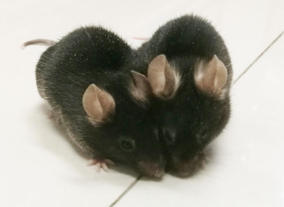 Para chirurgicznie połączonych myszy /University of British Columbia /Materiały prasowe