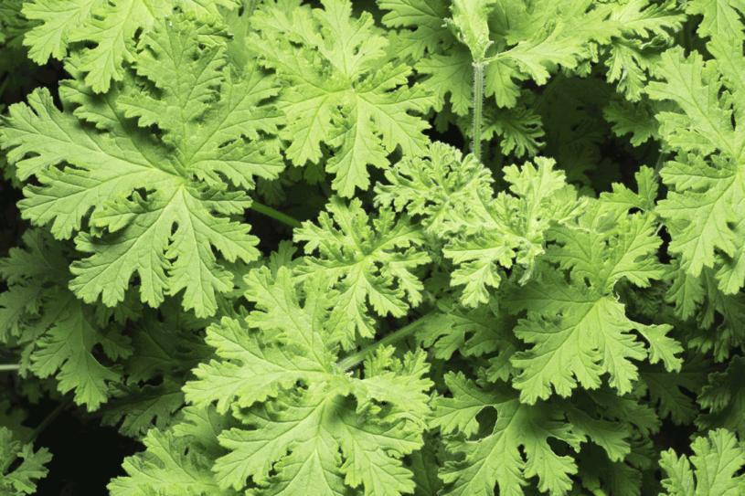 Pelargonia pachnąca popularnie nazywana geranium lub anginką /123RF/PICSEL