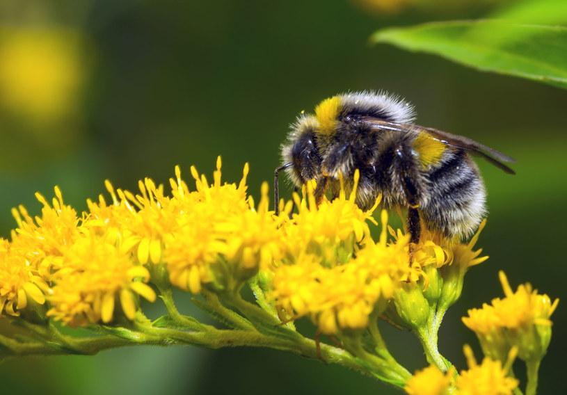 Pestycydy szkodzą trzmielom (tu Bombus pascuorum) /©123RF/PICSEL