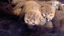 Pięć małych gepardów znalazło nową matkę