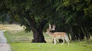 Pięknie zaprojektowane duńskie parki - Louisiana, Dyrehave