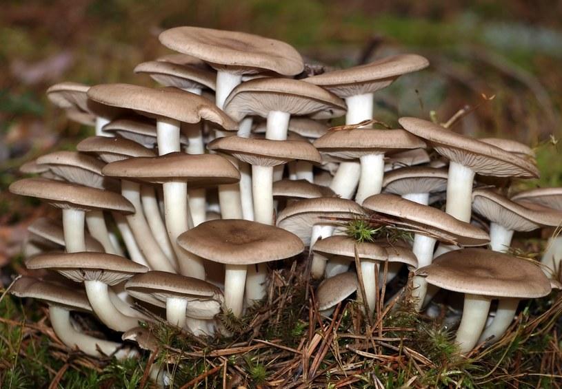 Pierwszą zidentyfikowaną toksyną pochodzącą z grzyba była muskaryna /123RF/PICSEL
