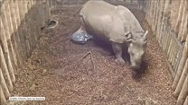 Pierwsze po narodzinach kroki małego nosorożca