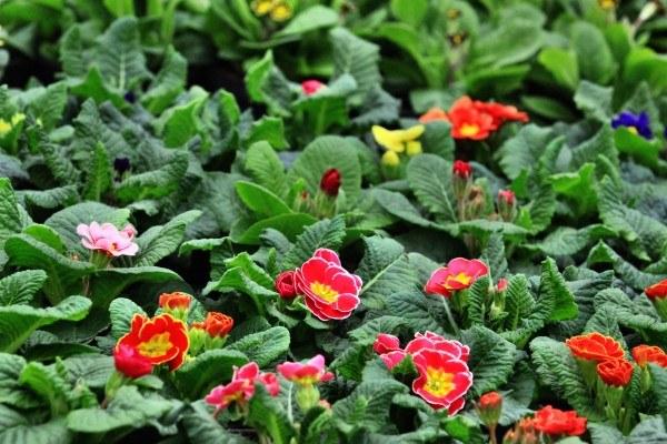 Prymulki z podgorzowskiego Wawrowa (Lubuskie). Choć na zewnątrz tęgi mróz pierwsze wiosenne kwiaty zaczynają już rozkwitać w szklarniach kwiatowych / fot. Lech Muszyński